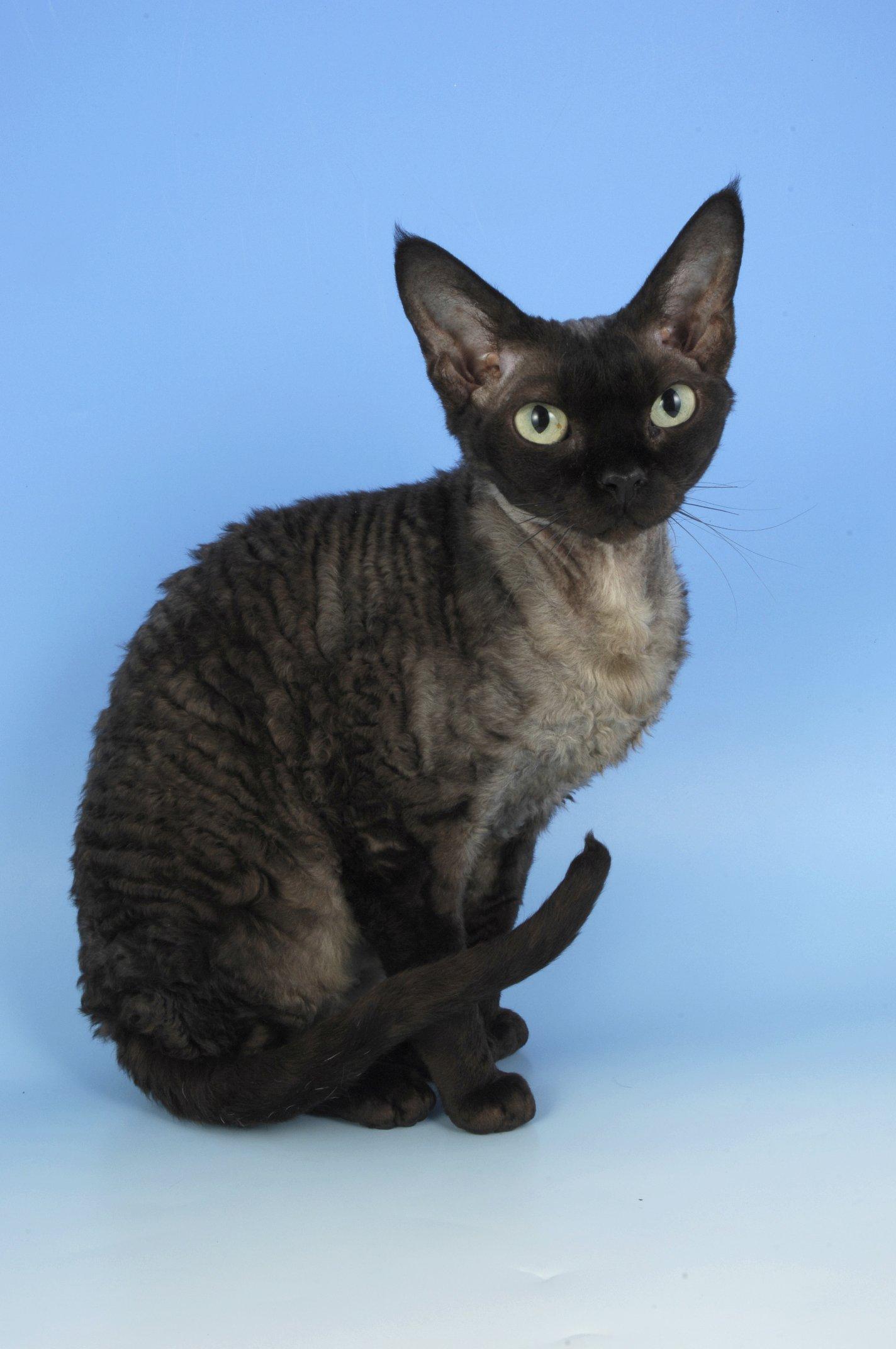Черный рекс кот