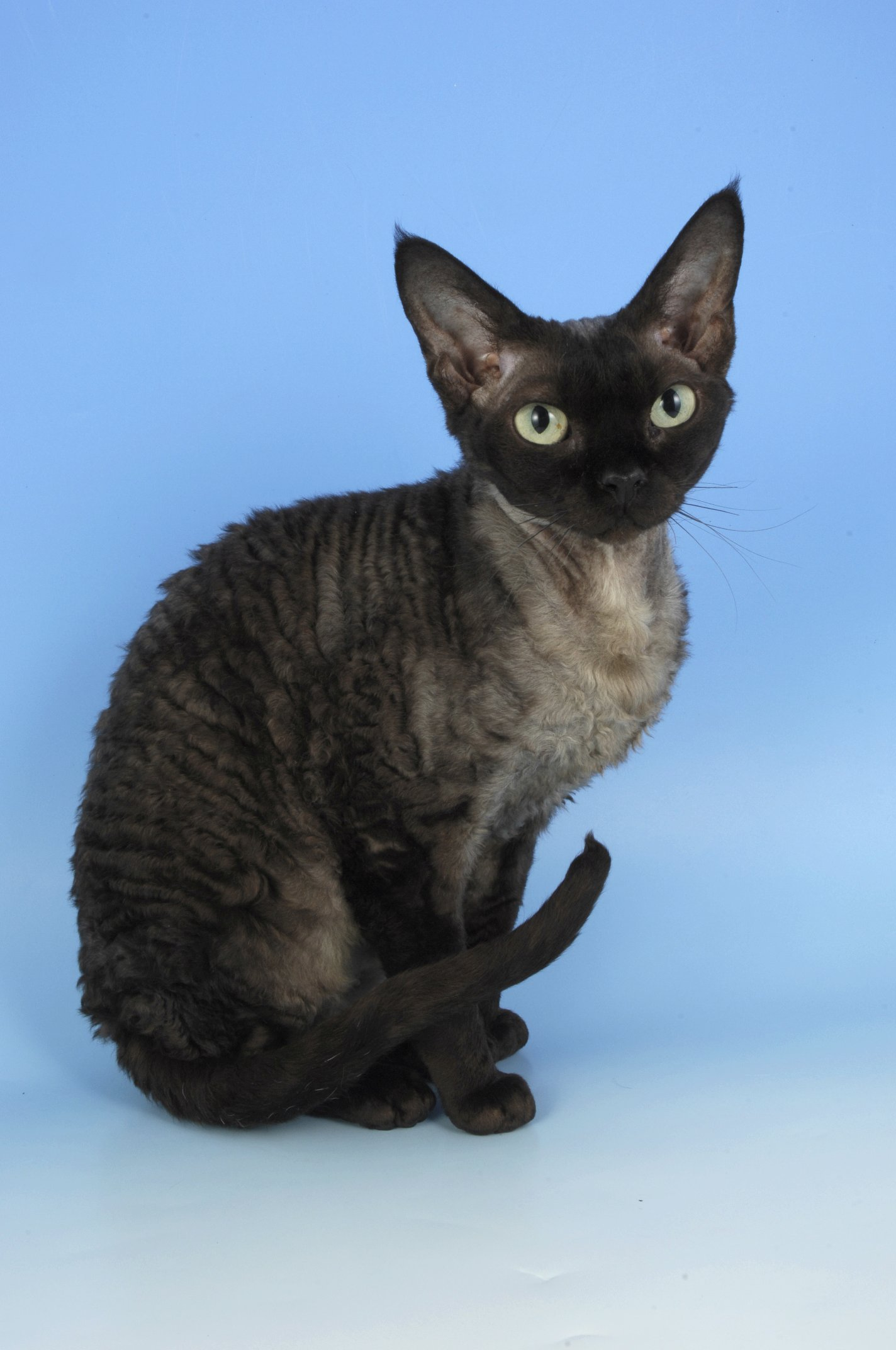 44 Most Amazing Black Devon Rex Cat Photos And Pictures