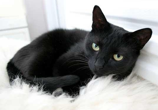 20 Most Beautiful Black Tonkinese Cat Photos And Pictures