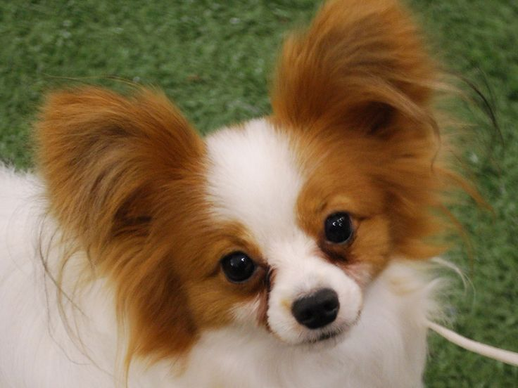 Good Cutest Brown Adorable Dog - Brown-And-White-Papillon-Dog-Image  2018_421171  .jpg