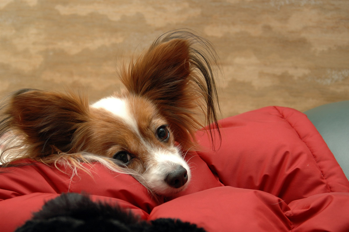 30+ Very Beautiful Brown Papillon Pictures And Photos