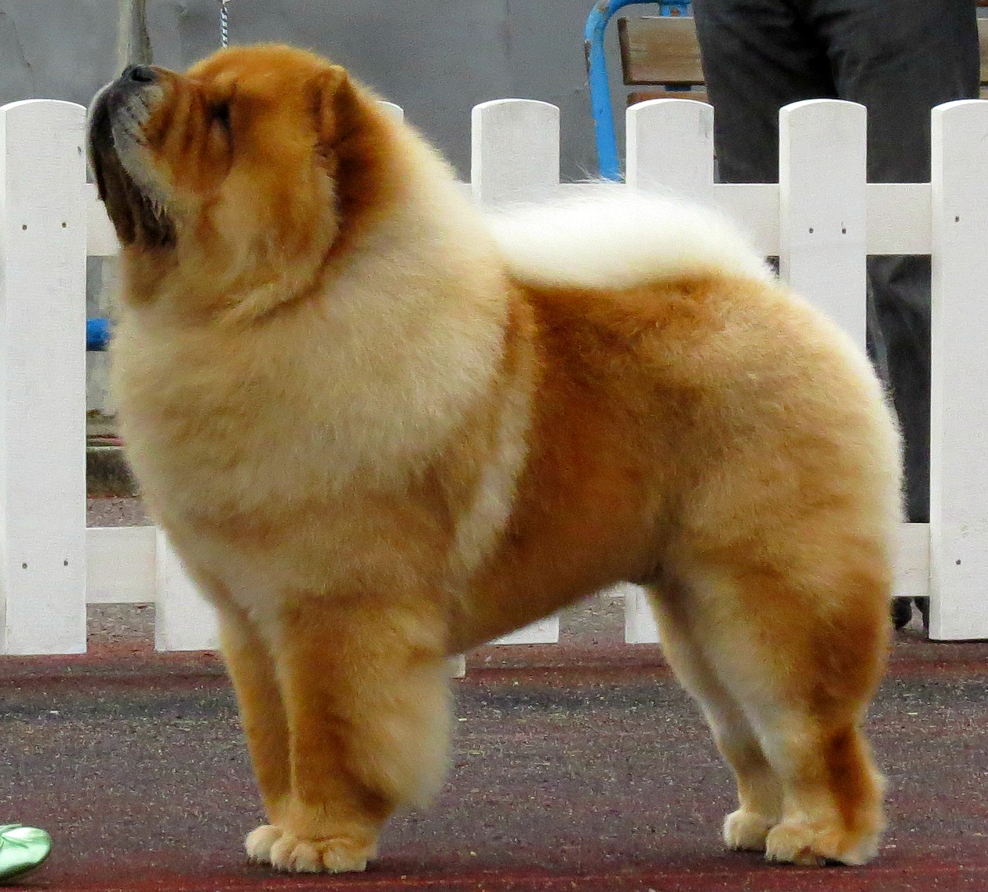 31 Most Beautiful Chow Chow Dog Pictures And Images