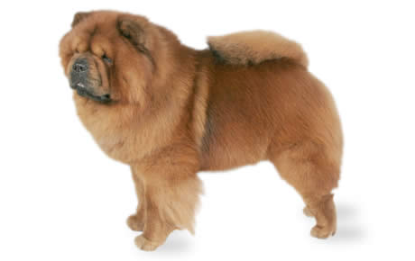 Chow Chow Dog Standing Picture