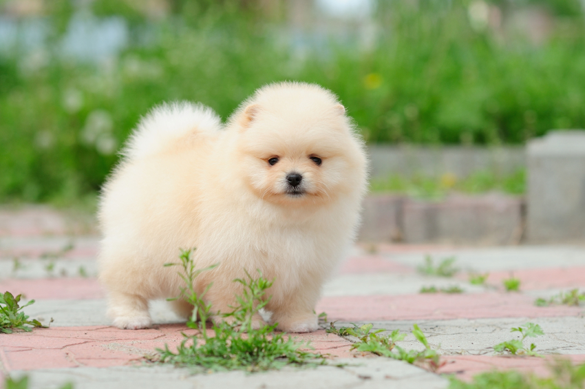Cute Pomeranian Puppy