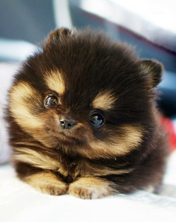 40 Very Cute Pomeranian Puppy Pictures