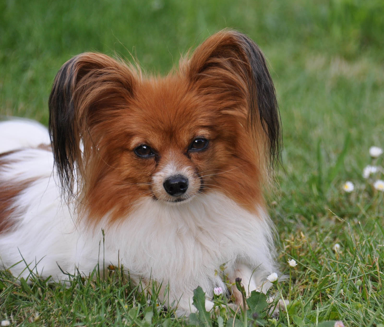 Simple Cutest Brown Adorable Dog - Cute-Little-Brown-And-White-Papillon-Dog  You Should Have_418812  .jpg