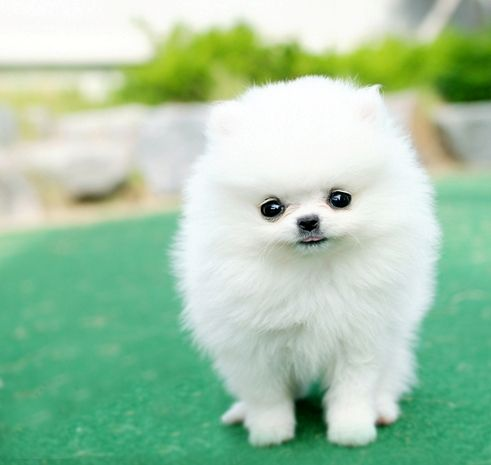 36 most amazing white pomeranian pictures and photos cute miniature white pomeranian puppy thecheapjerseys Image collections