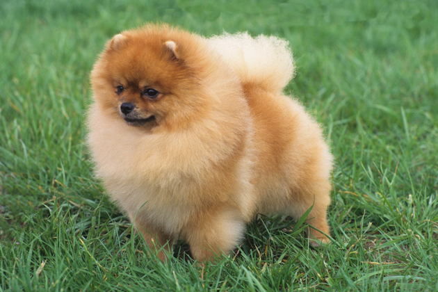 orange pomeranian puppy pomeranian orange puppy 2423