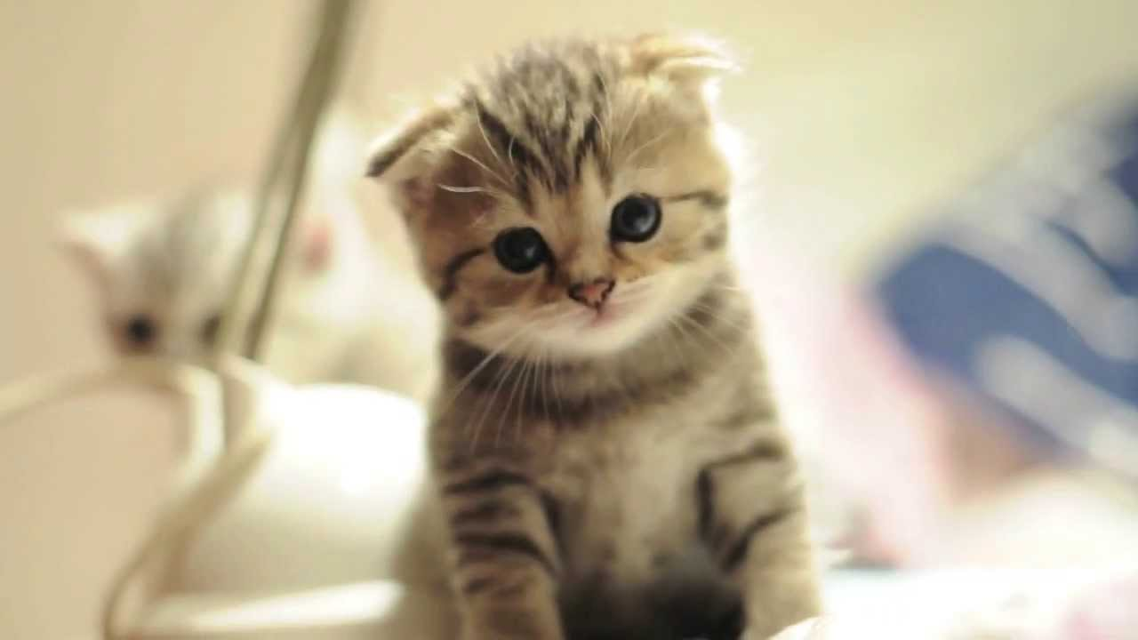 31 very beautiful scottish fold cat pictures and photos