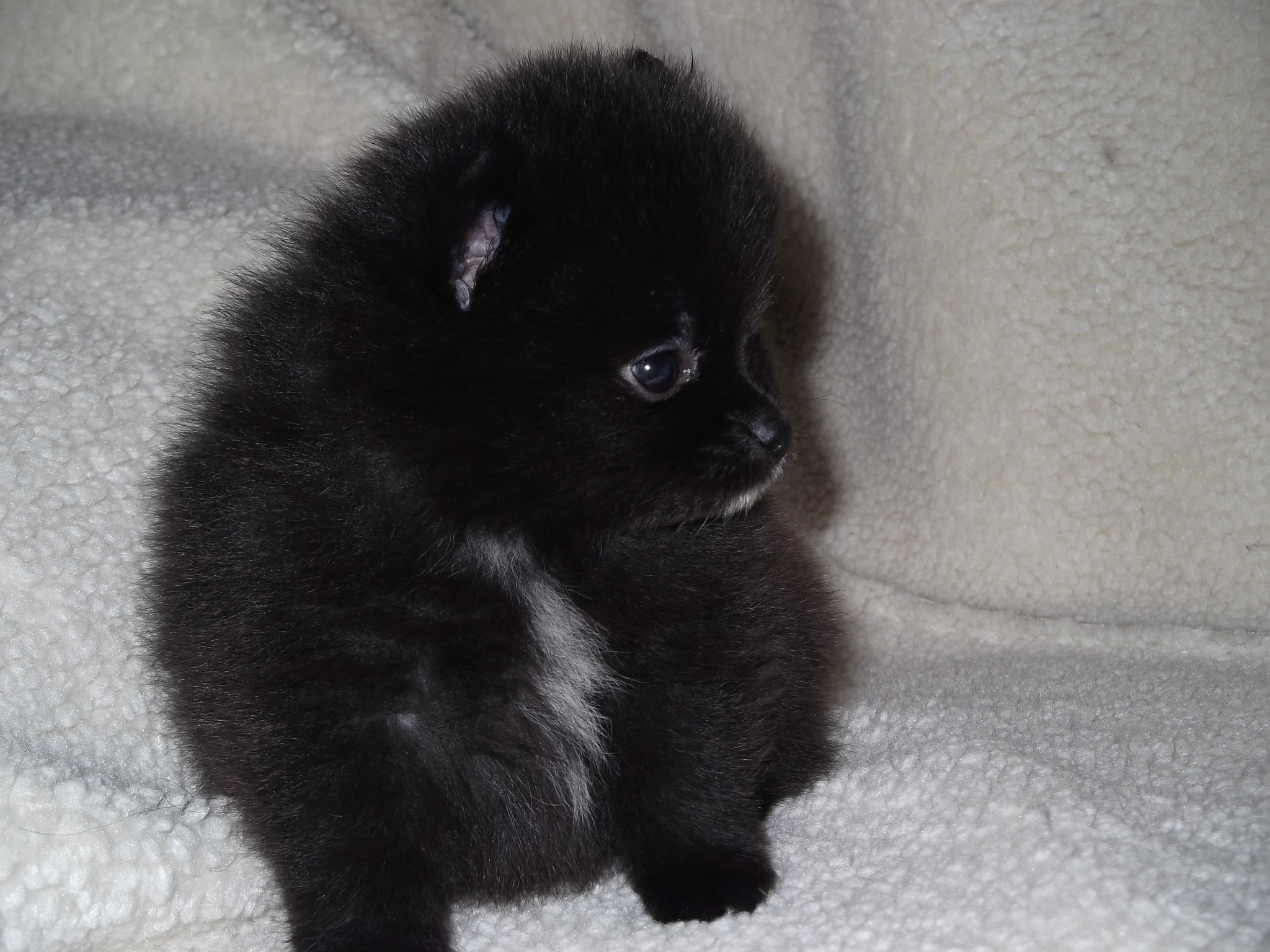 35 Most Awesome Black Pomeranian Pictures And Images