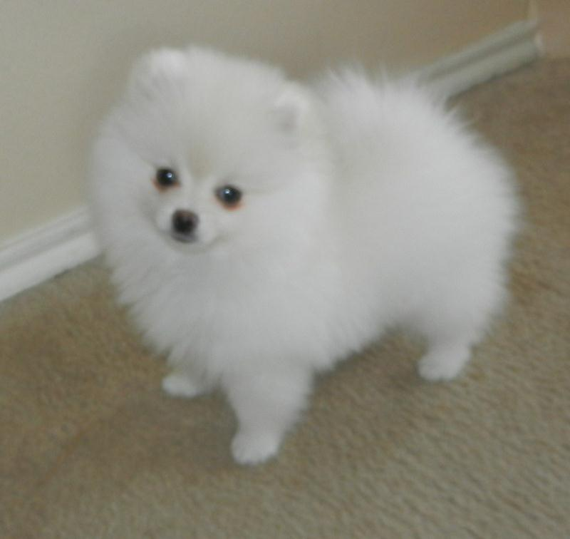 white pomeranian for sale 36 most amazing white pomeranian pictures and photos 6607