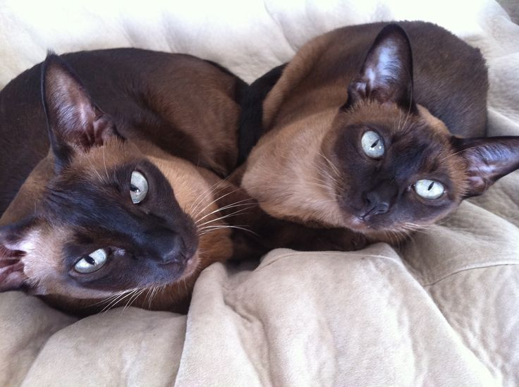 Dark Face Tonkinese Cats Looking Up