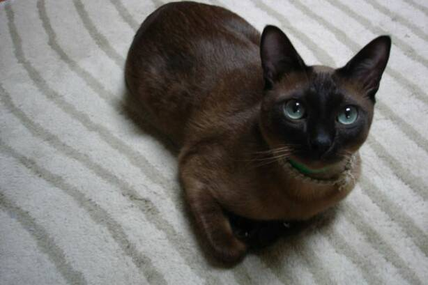 50 Most Cute Tonkinese Kittens Picture And Photos