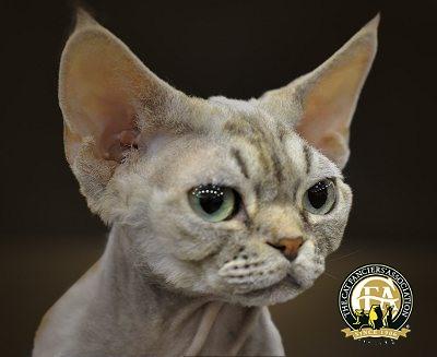 pics of ragdoll cats