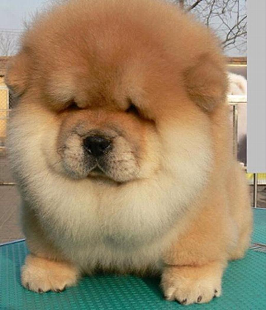 Wonderful Chinese Chubby Adorable Dog - Fluffy-Chow-Chow-Puppy-Picture  2018_721897  .jpg