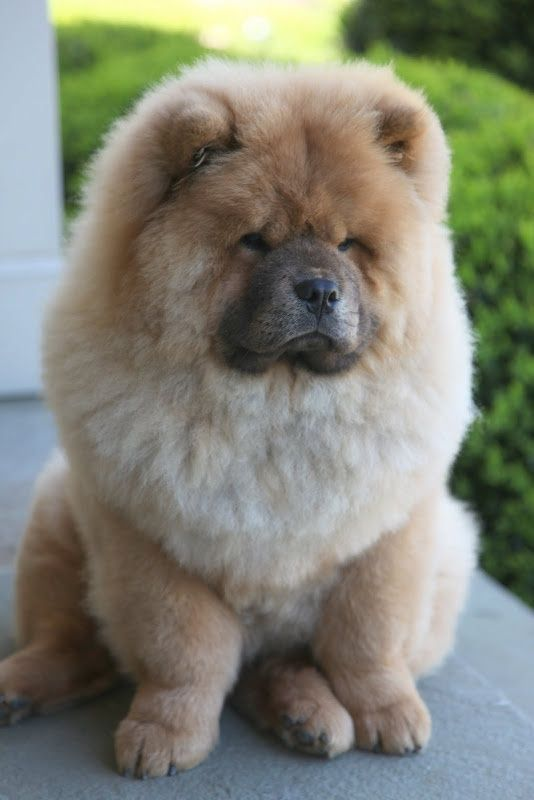 40 very cute chow chow puppies pictures - Images of chow chow puppies ...
