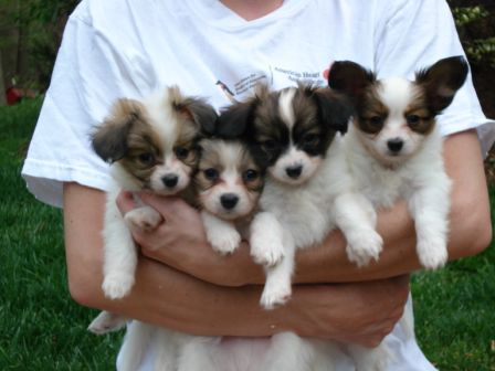 55 Vey Cute Papillon Puppy Photos And Images