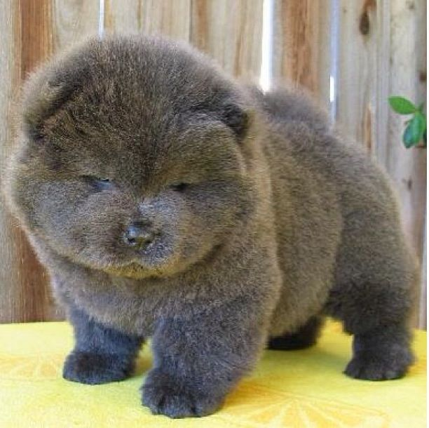 40+ Very Cute Chow Chow Puppies Pictures