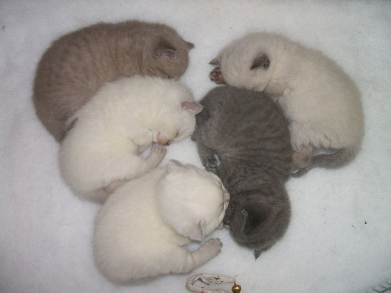 Where can you adopt a Scottish Fold cat?