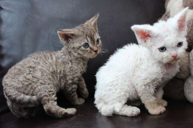 Blue Devon Rex Cat Mix