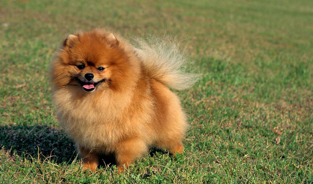 orange pomeranian puppy 30 most beautiful pomeranian dog photos and pictures 9885