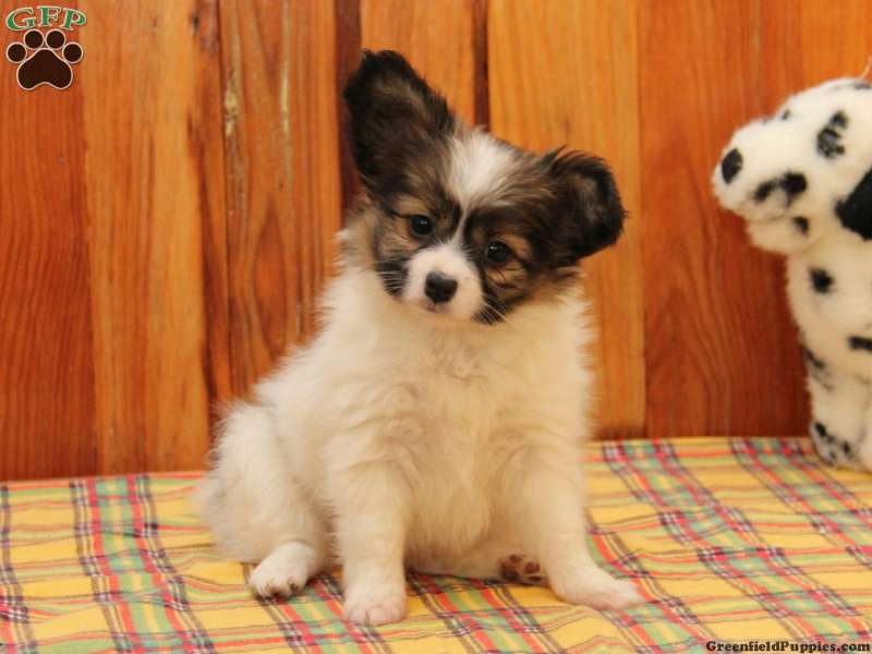 Toy Papillon Puppies For