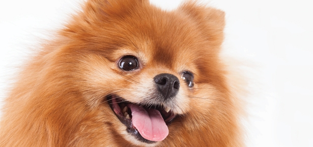 30 Most Beautiful Pomeranian Dog Photos And Pictures