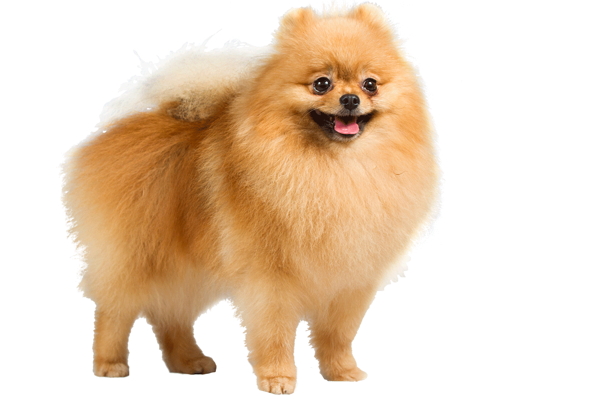 30 most beautiful pomeranian dog photos and pictures little boy clipart free png little boy clip art free
