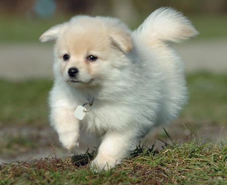 pomeranian running 40 very cute pomeranian puppy pictures and photos 4168