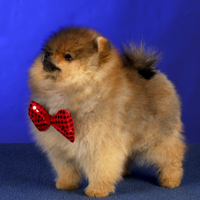 40+ Very Cute Pomeranian Puppy Pictures And Photos
