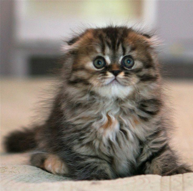 Highland Fold Kittens