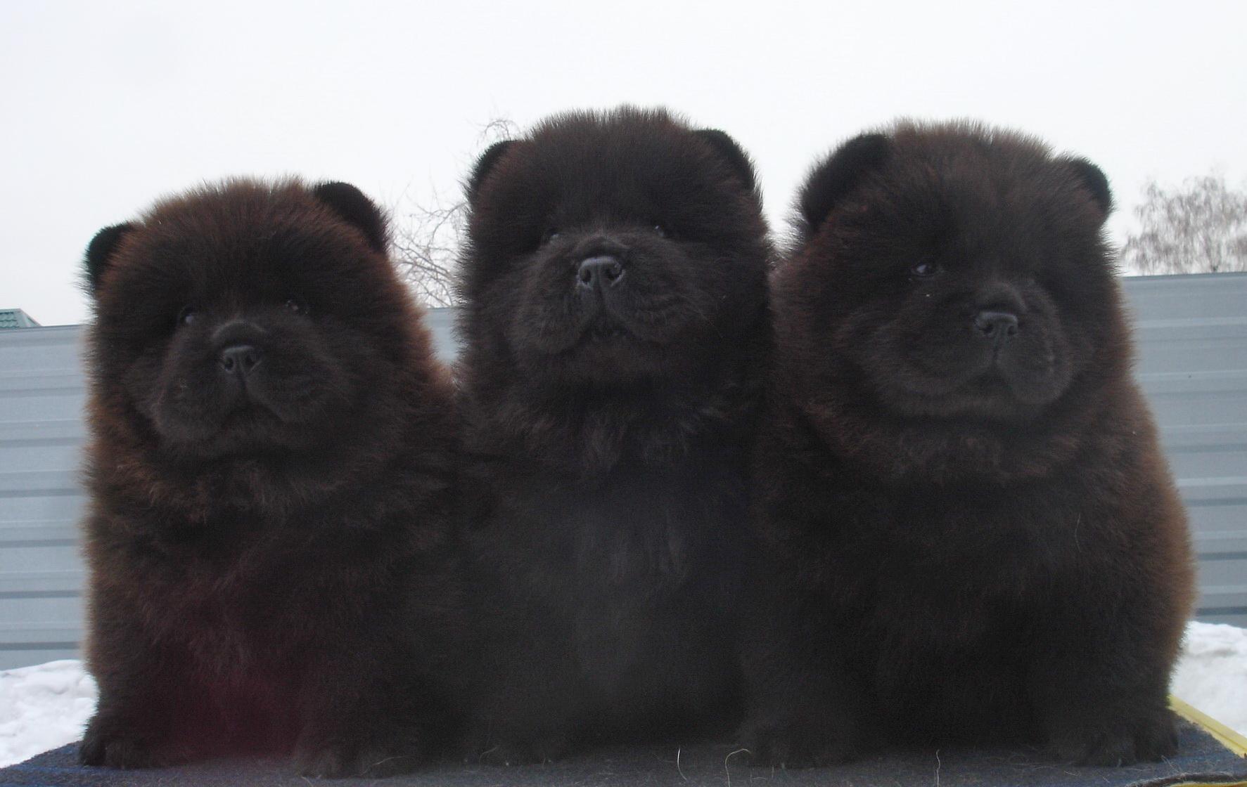 Wonderful Baby Blue Eye Chubby Adorable Dog - Three-Cute-Black-Chow-Chow-Puppies-Sitting  Photograph_547953  .jpg