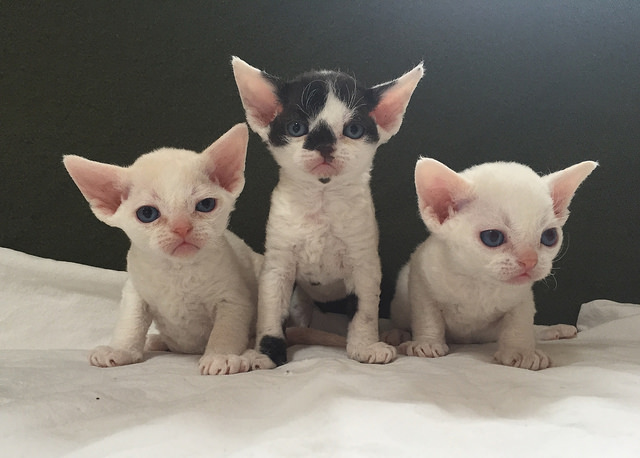 30 Most Beautiful Devon Rex Cat Pictures And Photos