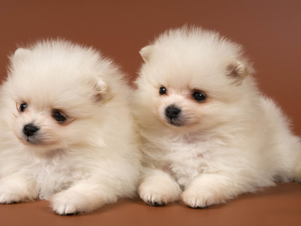 40 Very Cute Pomeranian Puppy And s