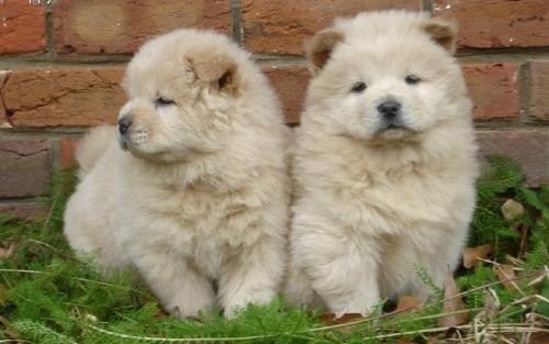 cute fluffy brown dogs