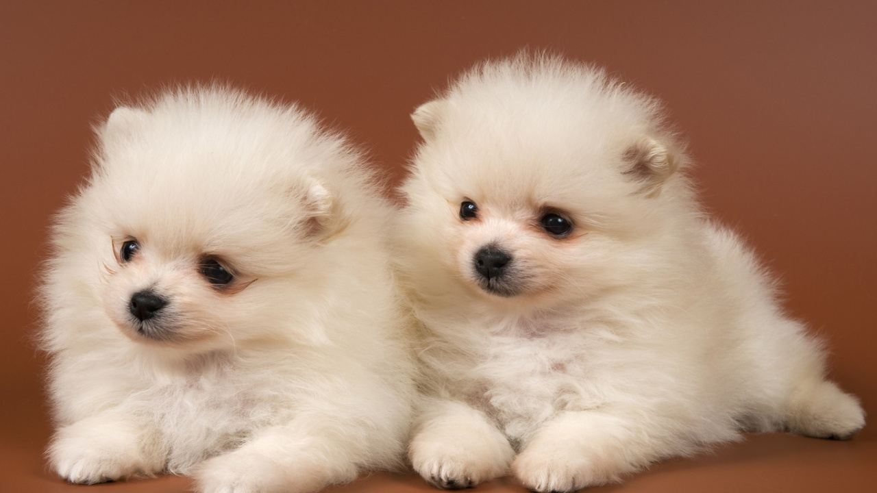 40 Very Cute Chow Chow Puppies