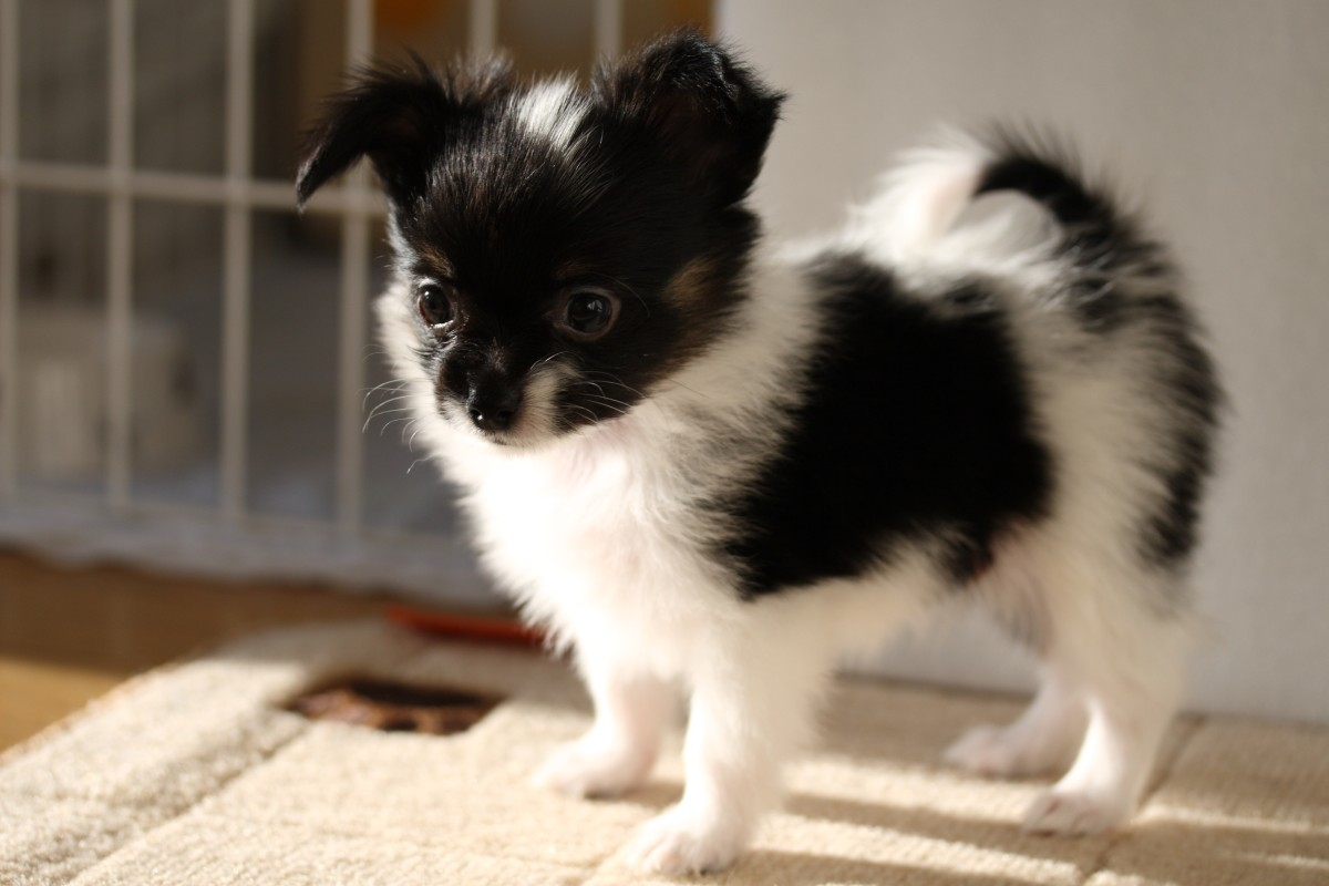 30+ Stunning Black And White Papillon Dog Pictures And Photos