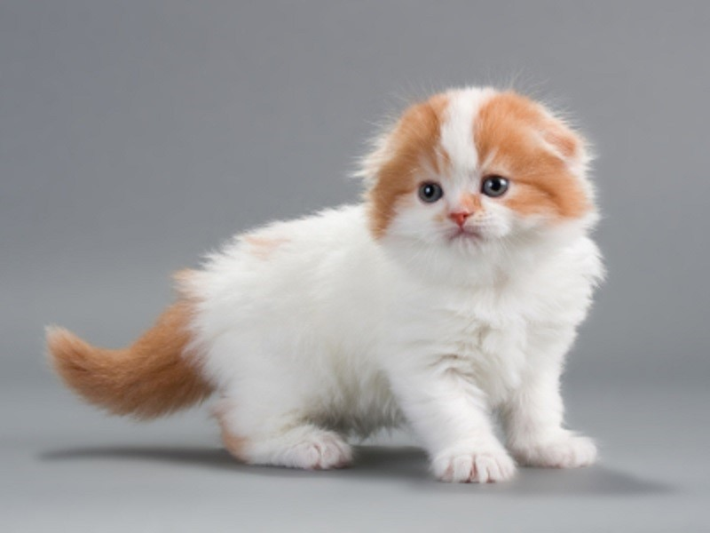 30+ Most Stunning White Scottish Fold Pictures And Photos