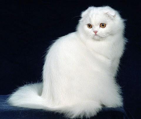 Beautiful White Longhair Cat
