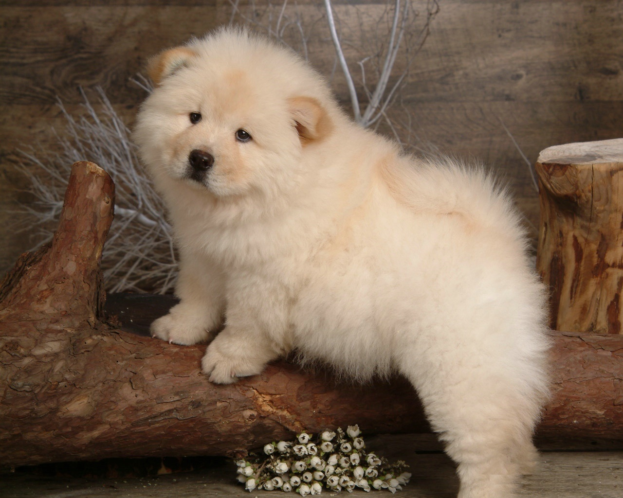 40 Very Cute Chow Chow Puppies Pictures