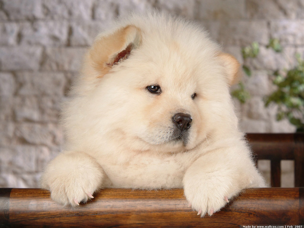 White Cute Chow Puppy Wallpaper