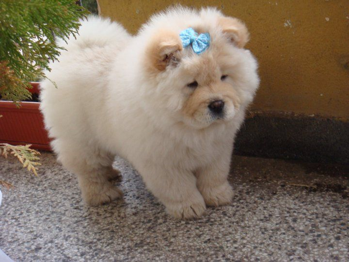 Popular Valentine Bow Adorable Dog - White-Cute-Chow-Chow-Puppy-Wearing-Blue-Bow  Gallery_52137  .jpg