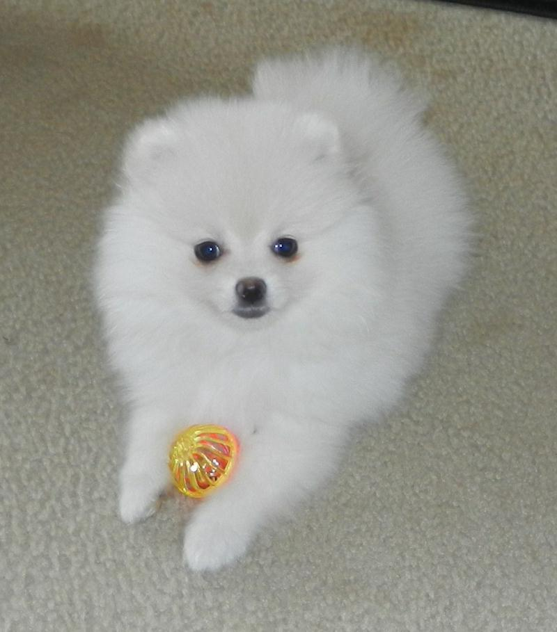 white pomeranian puppies price 36 most amazing white pomeranian pictures and photos 4059