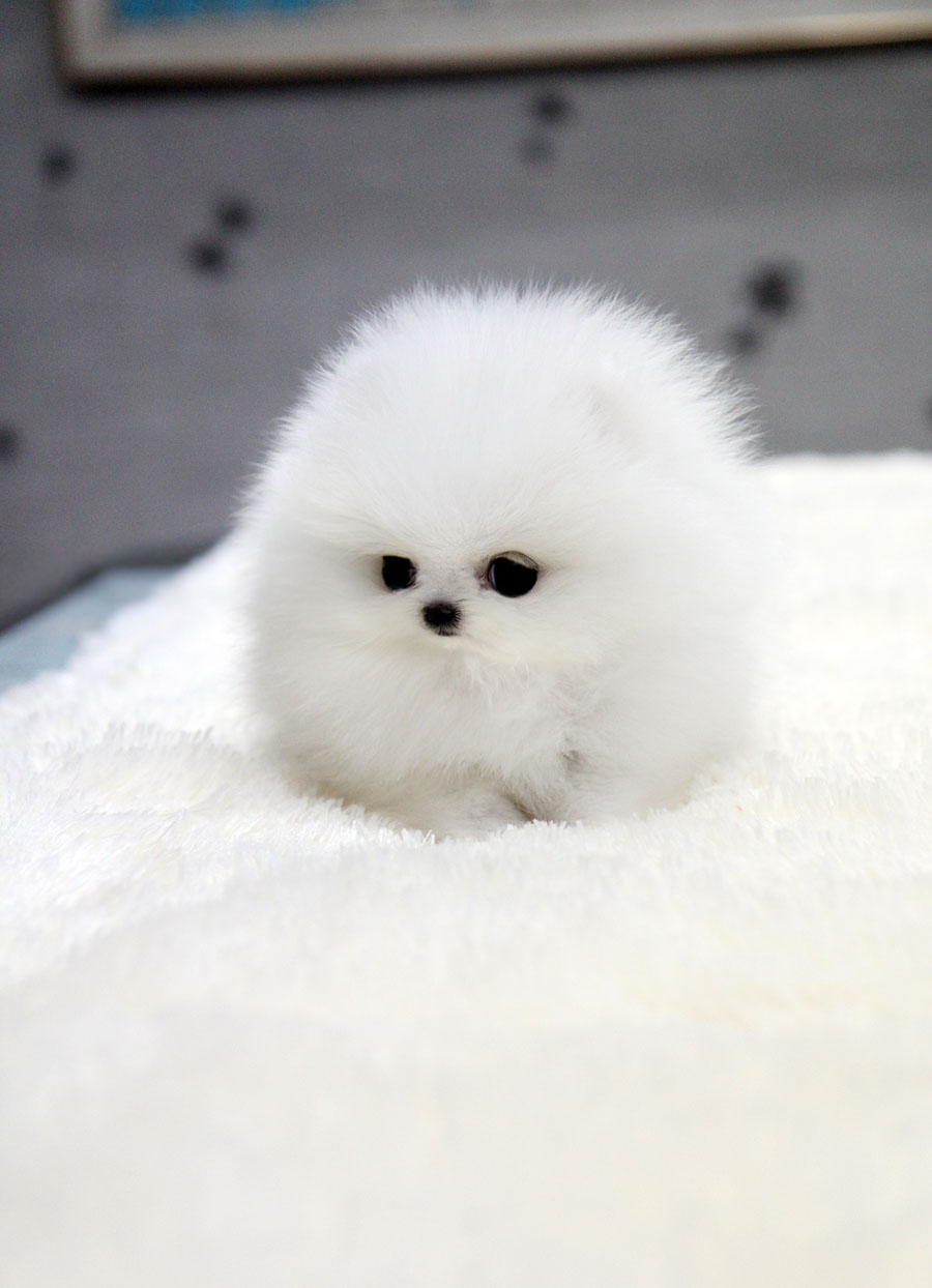 White Pomeranian Pictures And Photos