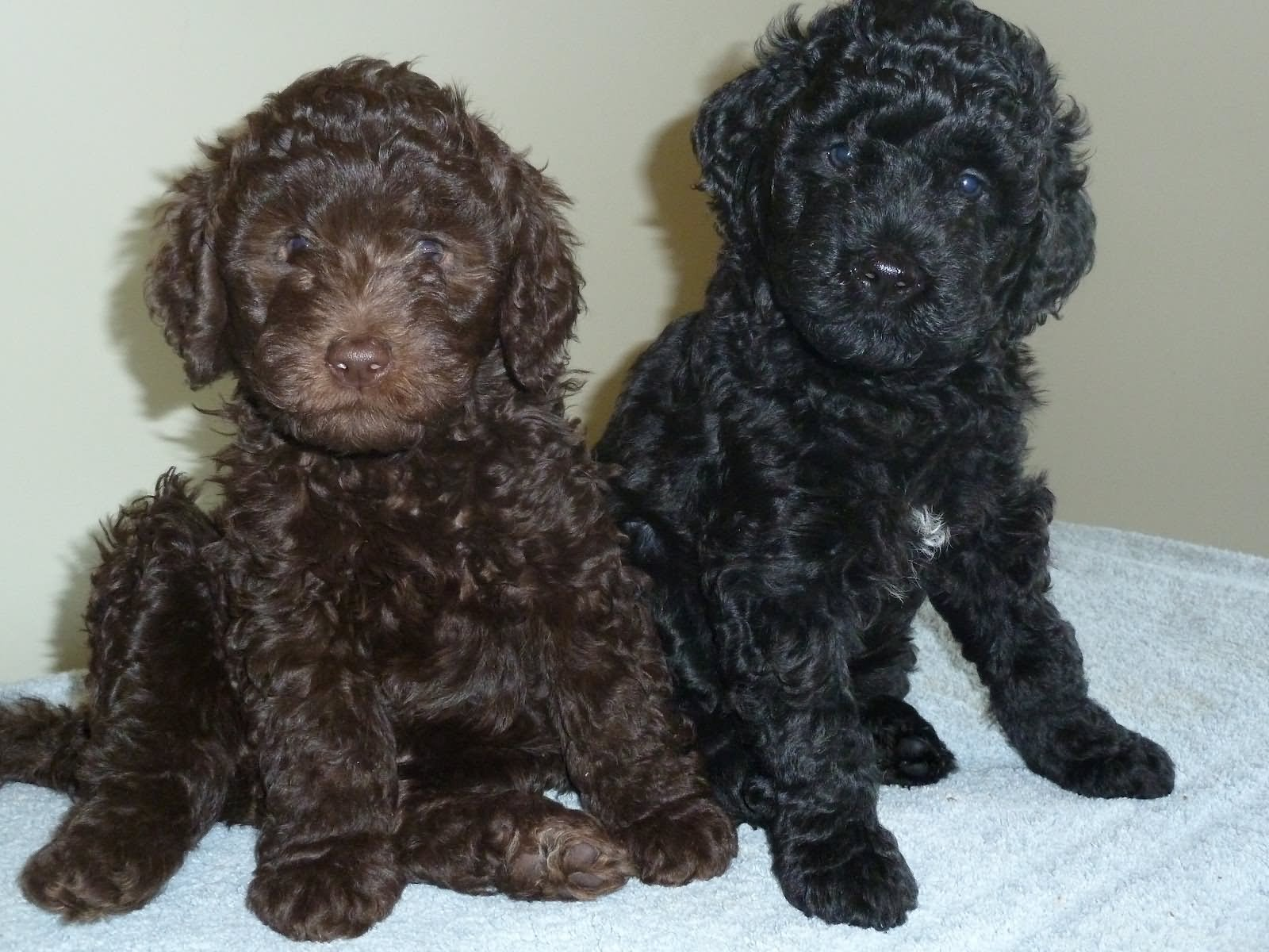 32 Very Cute Barbet Puppy Pictures And Photos