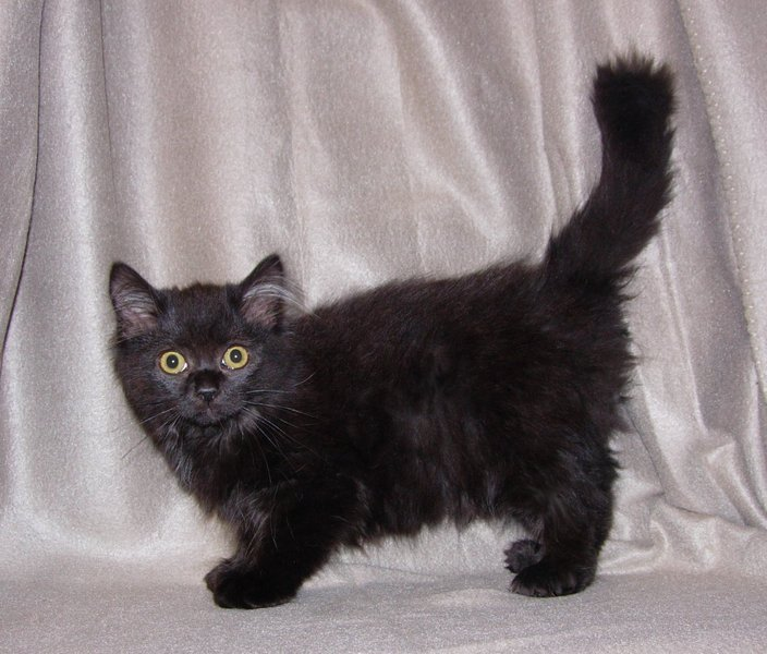 20 Most Beautiful Black Munchkin Cat Pictures Grey Fluffy Kittens