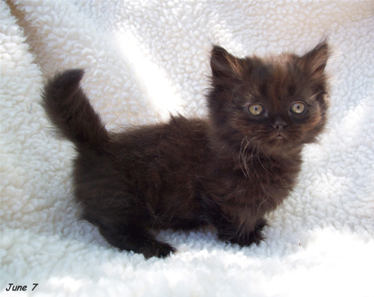 20 Most Beautiful Black Munchkin Cat Pictures