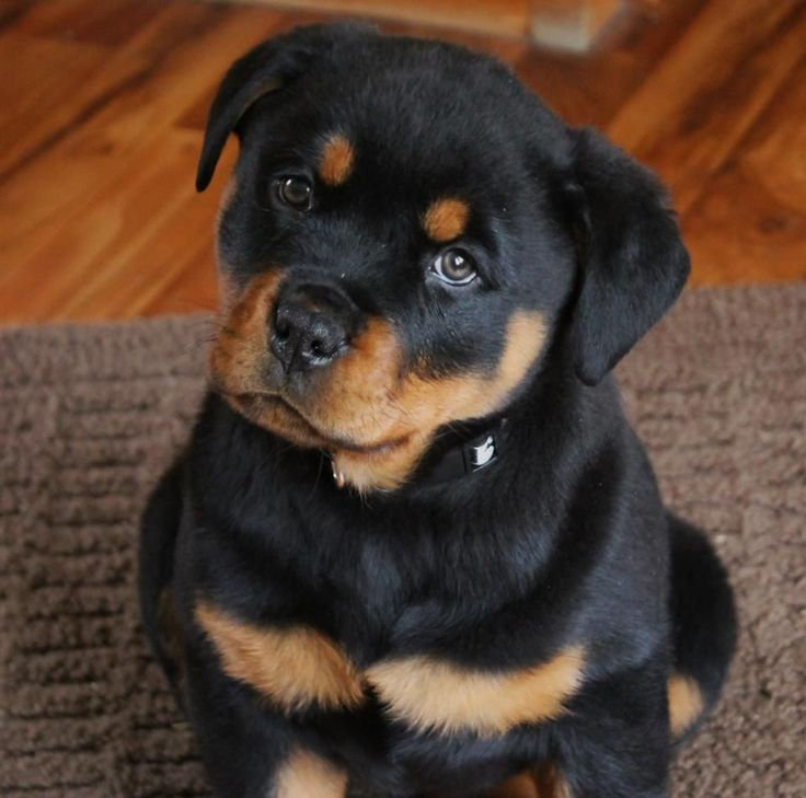 40+ Very Cute Rottweiler Puppy Pictures And Images