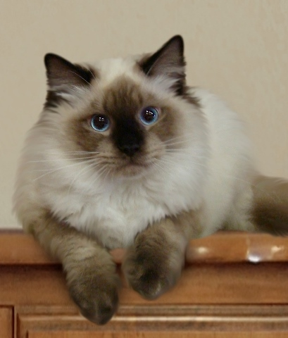 Grey Siamese Cats For Sale