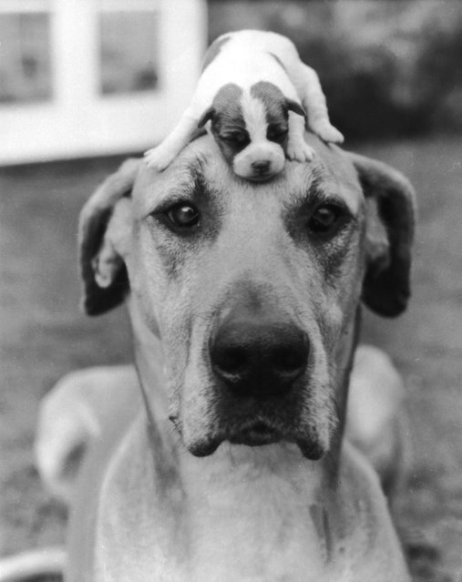 Puppy On Dog Head Funny Vintage Picture